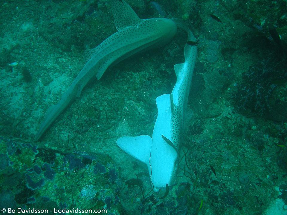 BD-070401-Similan-4010964-Stegostoma-fasciatum-(Hermann.-1783)-[Zebra-shark.-Sebrahaj].jpg